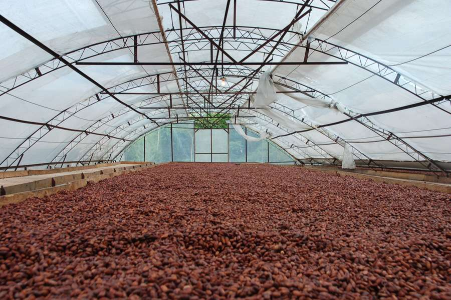 drying of the cocoa beans