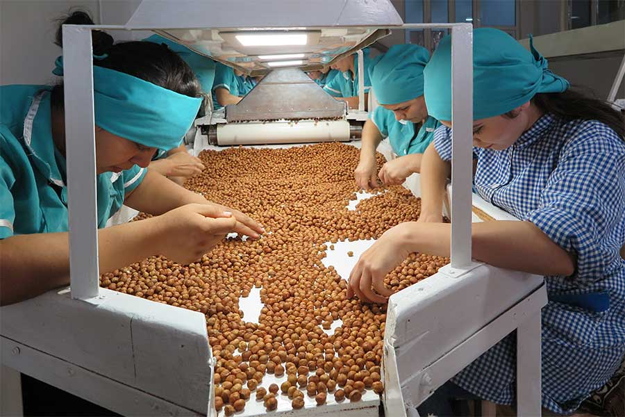 The hazelnuts are sorted at the processing company.
