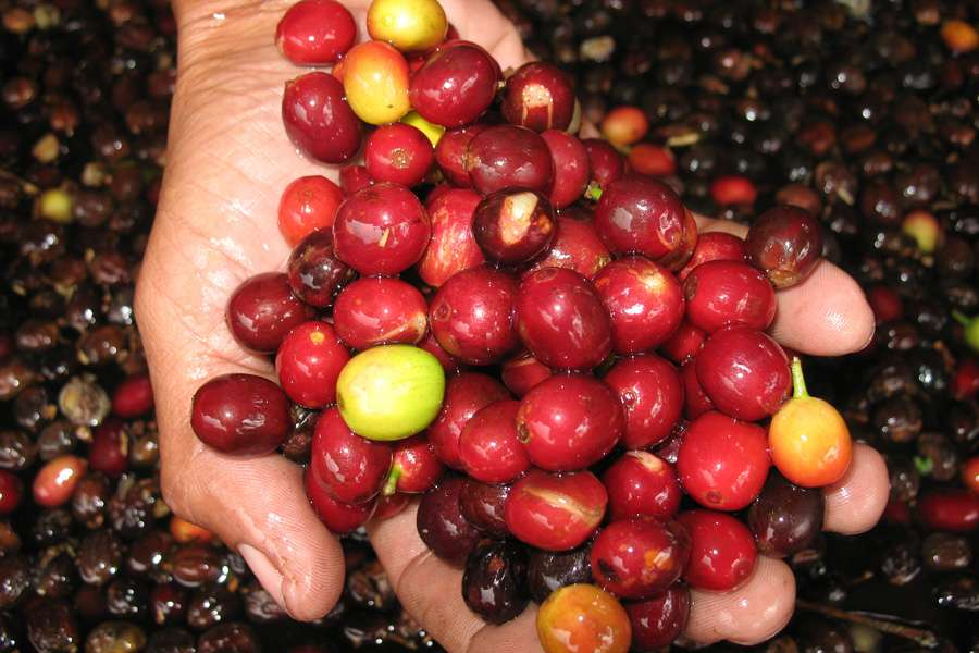 The red pulp of freshy harvested coffee cherries is removed prior to drying in the sun.