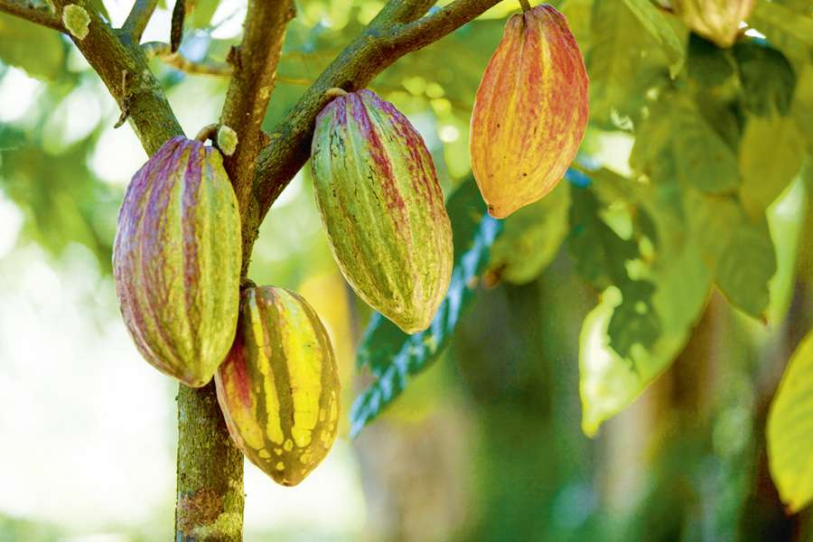 Many steps are needed in order to make fine chocolate from these cocoa fruit