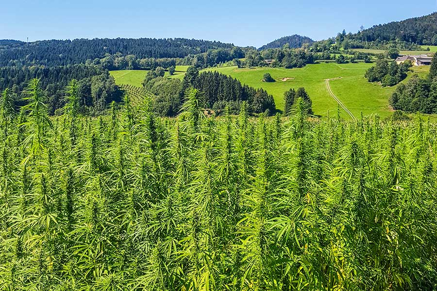 Until harvest, these hemp plants may grow up to 4.5 m