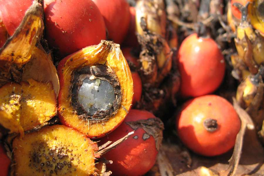 opened palm fruit with the white palm kernel