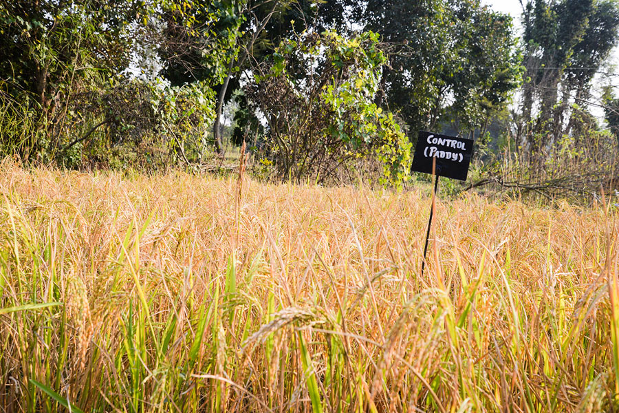 Years ago, India had more than 100,000 different rice varieties, but the diversity decreased dramatically. Navdanya tries to preserve the diversity with their seed bank for endemic and traditional varieties.